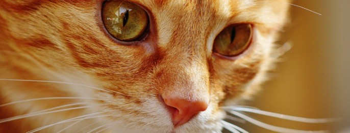Feline Hyperthreose