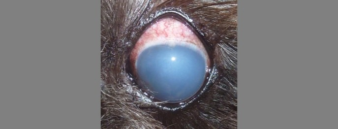 Glaukom beim Kleintier