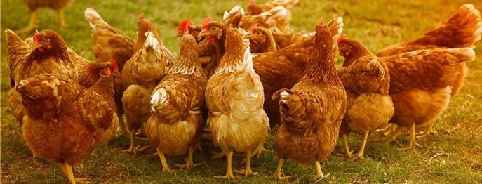 Das Huhn in der Kleintierpraxis