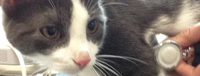 Grundlagen Kardiologie der Katze