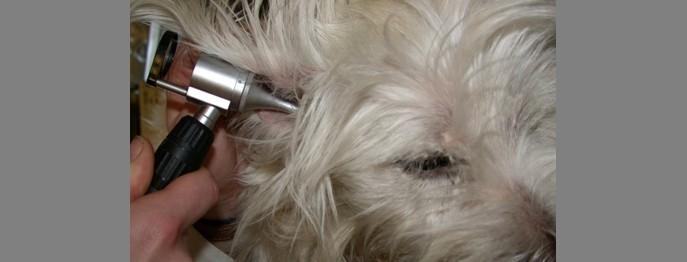 Otitis beim Hund