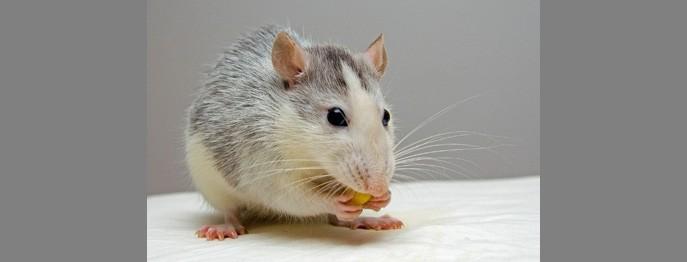 Häufige Erkrankungen der Ratte