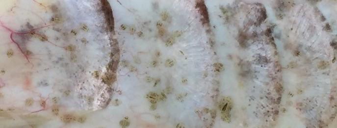 Haut- und Kiemenparasiten bei Zierfischen